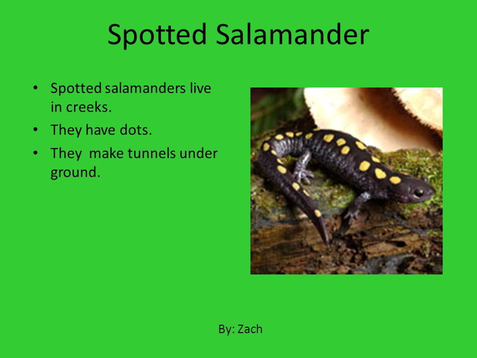 Spotted Salamander Spotted salamanders live in creeks. They have dots.