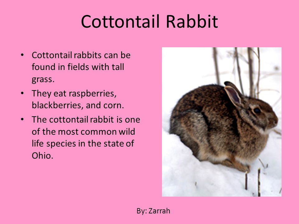 Cottontail Rabbit Cottontail rabbits can be found in fields with tall grass. They eat raspberries, blackberries, and corn.