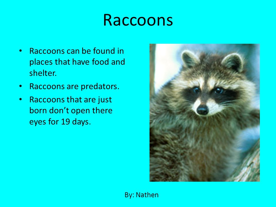 Raccoons Raccoons can be found in places that have food and shelter.