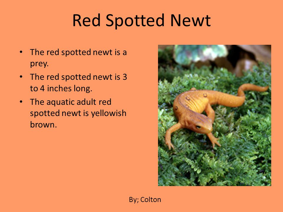 Red Spotted Newt The red spotted newt is a prey.