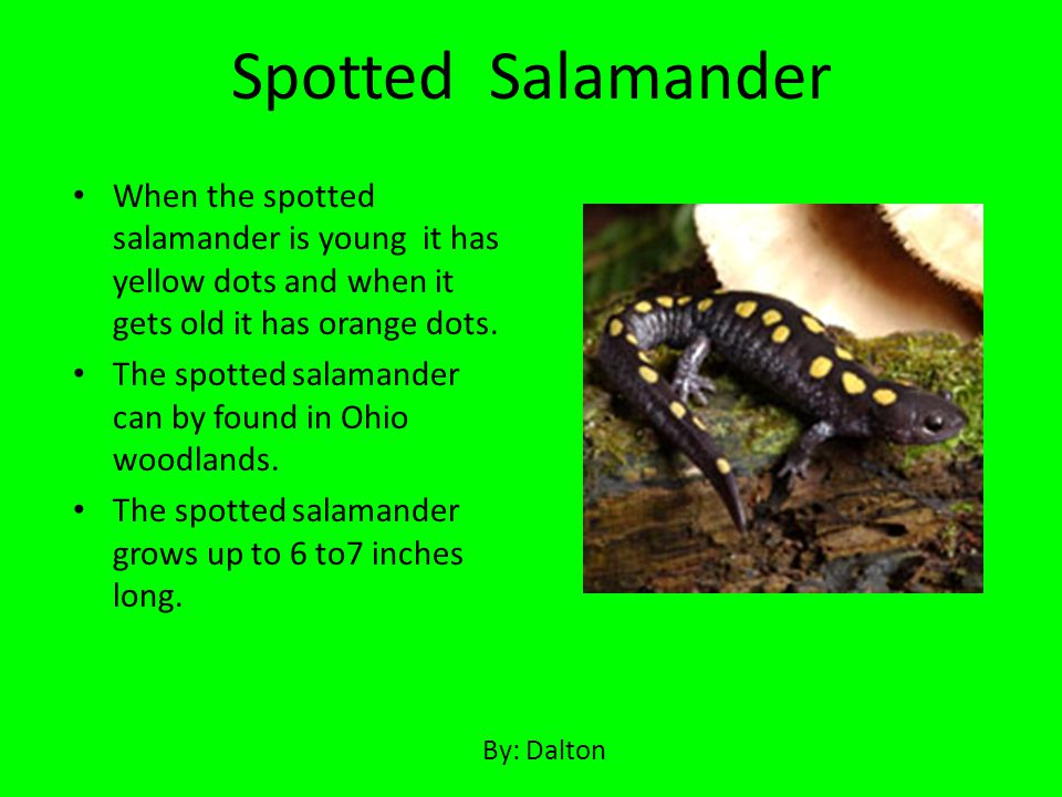 Spotted Salamander When the spotted salamander is young it has yellow dots and when it gets old it has orange dots.