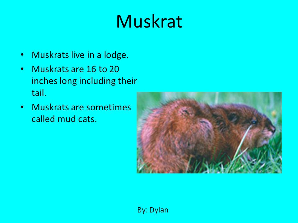 Muskrat Muskrats live in a lodge.