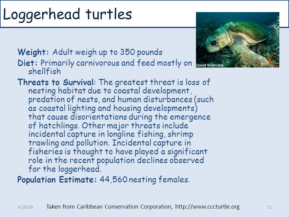 Loggerhead turtles Weight: Adult weigh up to 350 pounds