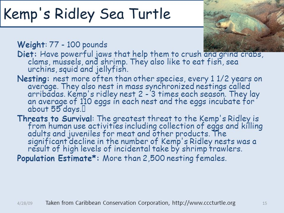 Kemp s Ridley Sea Turtle