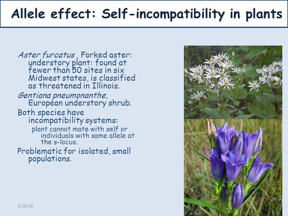 Allele effect: Self-incompatibility in plants