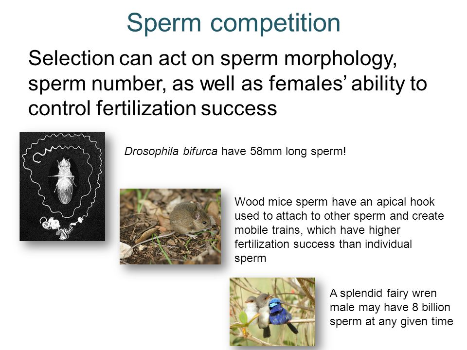 Sperm competition Selection can act on sperm morphology, sperm number, as well as females' ability to control fertilization success.