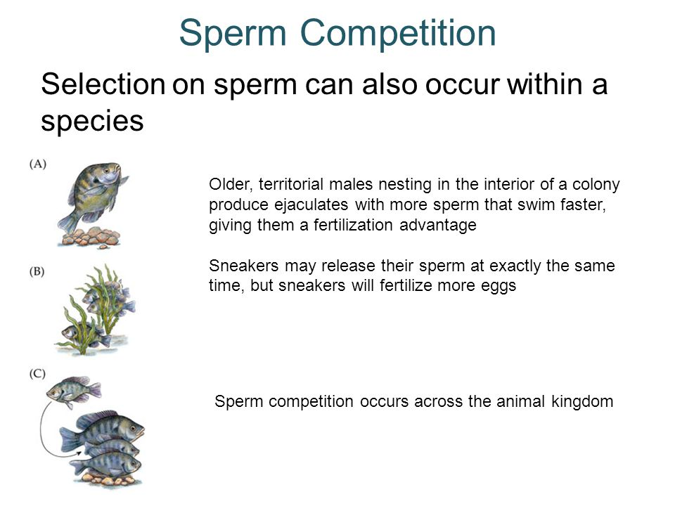 Sperm Competition Selection on sperm can also occur within a species