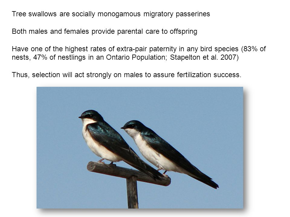 Tree swallows are socially monogamous migratory passerines