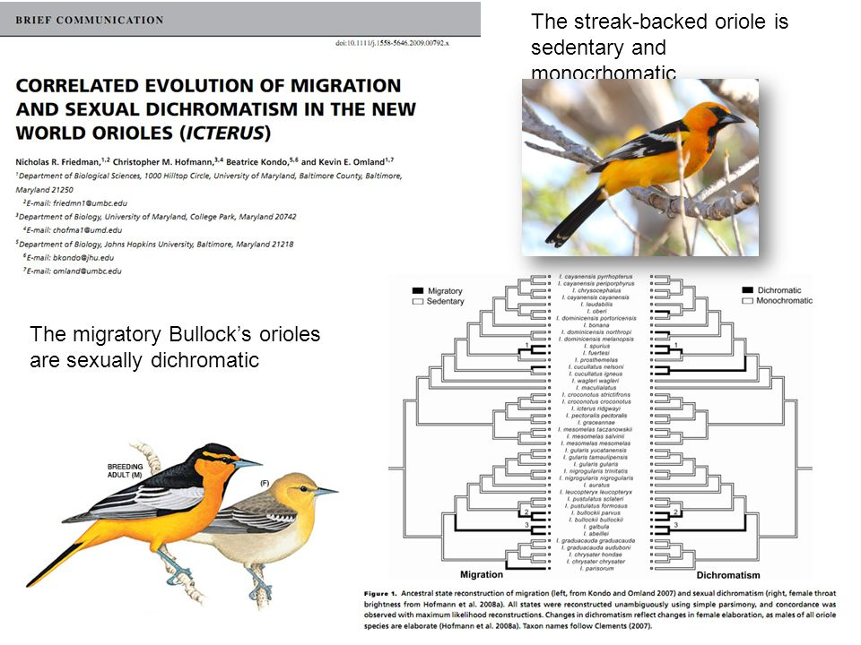 The streak-backed oriole is sedentary and monocrhomatic