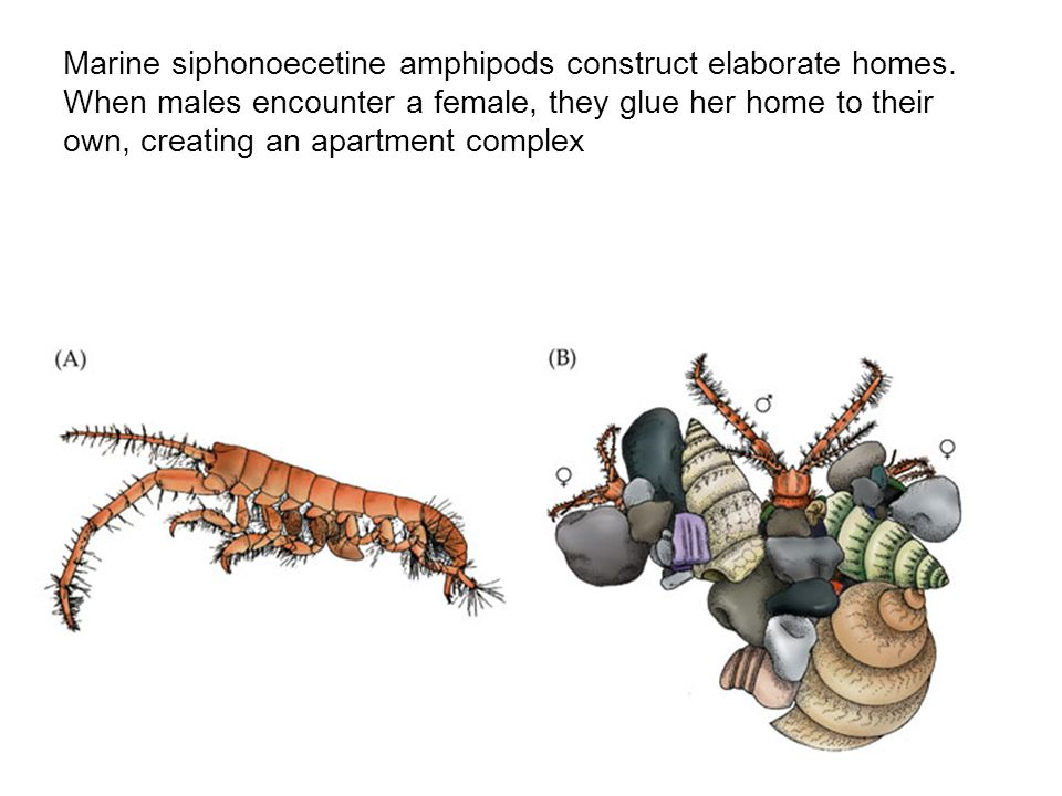Marine siphonoecetine amphipods construct elaborate homes