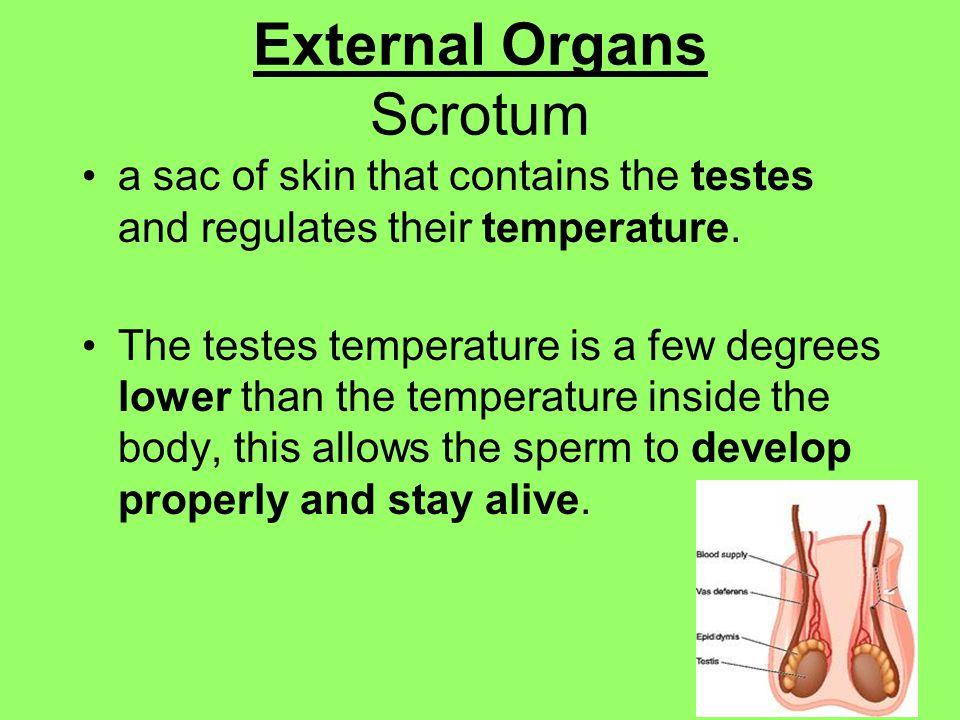 External Organs Scrotum