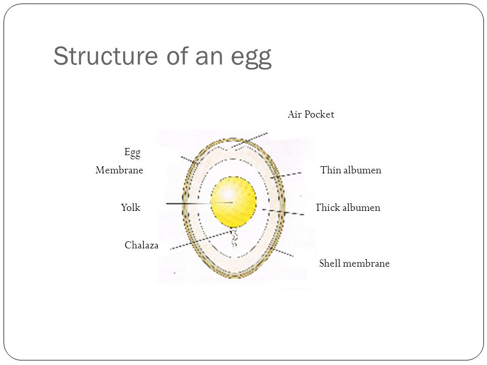 Structure of an egg Egg Membrane Thin albumen Yolk Thick albumen