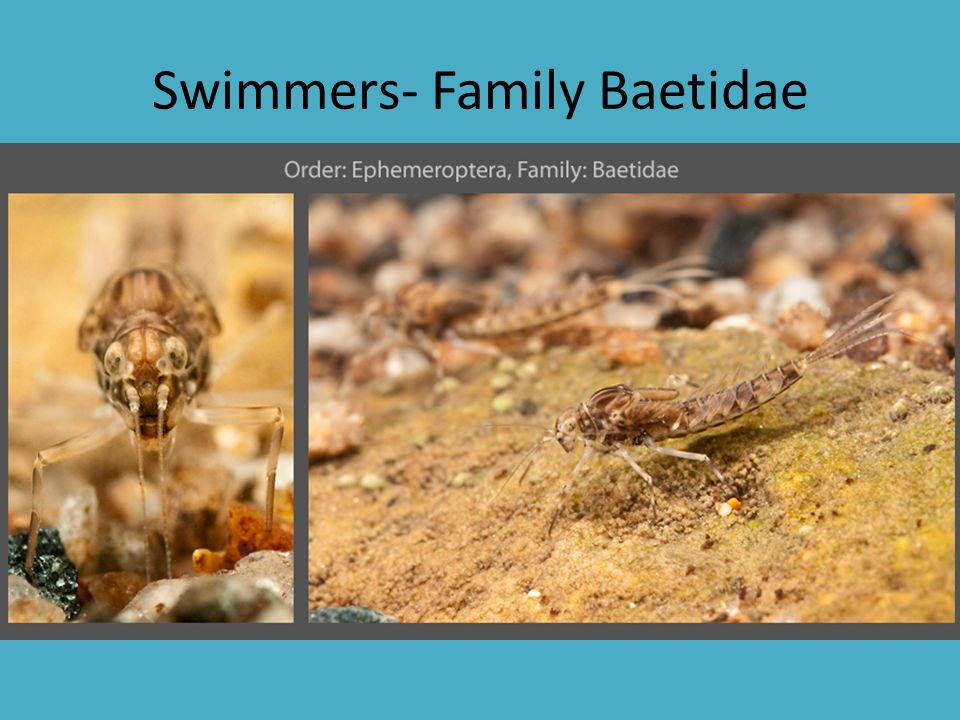 Swimmers- Family Baetidae