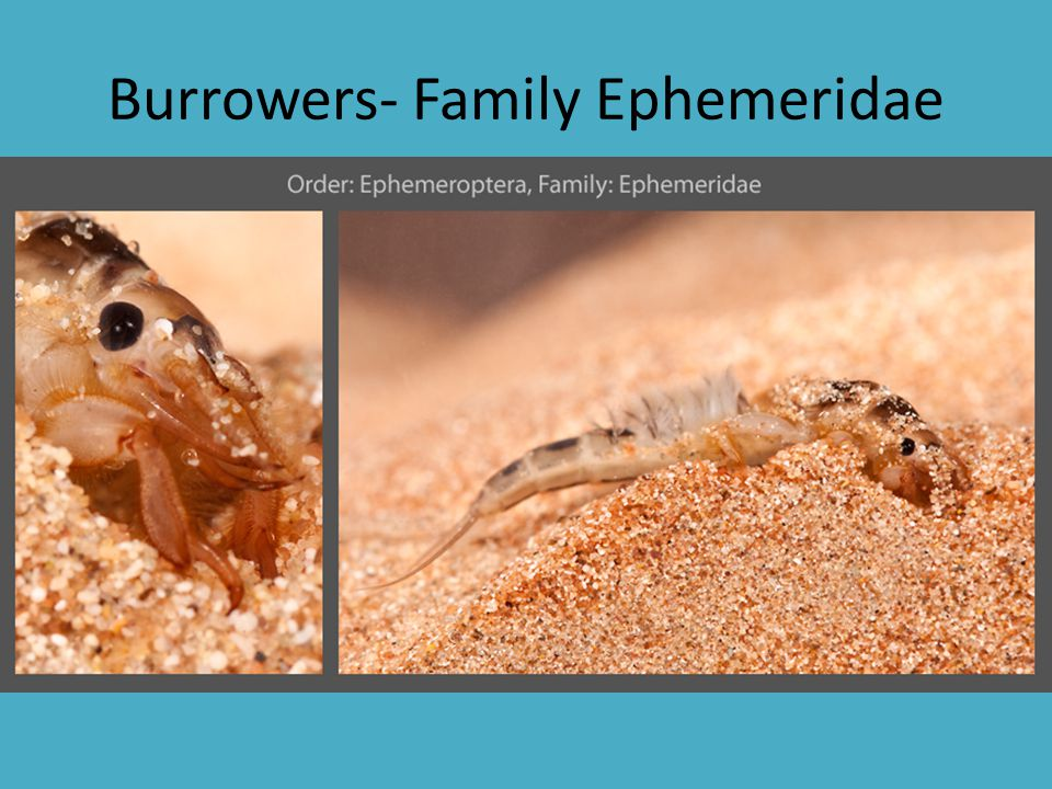 Burrowers- Family Ephemeridae