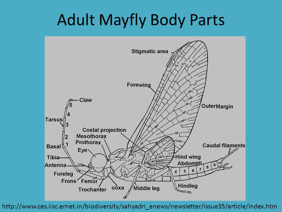 Adult Mayfly Body Parts