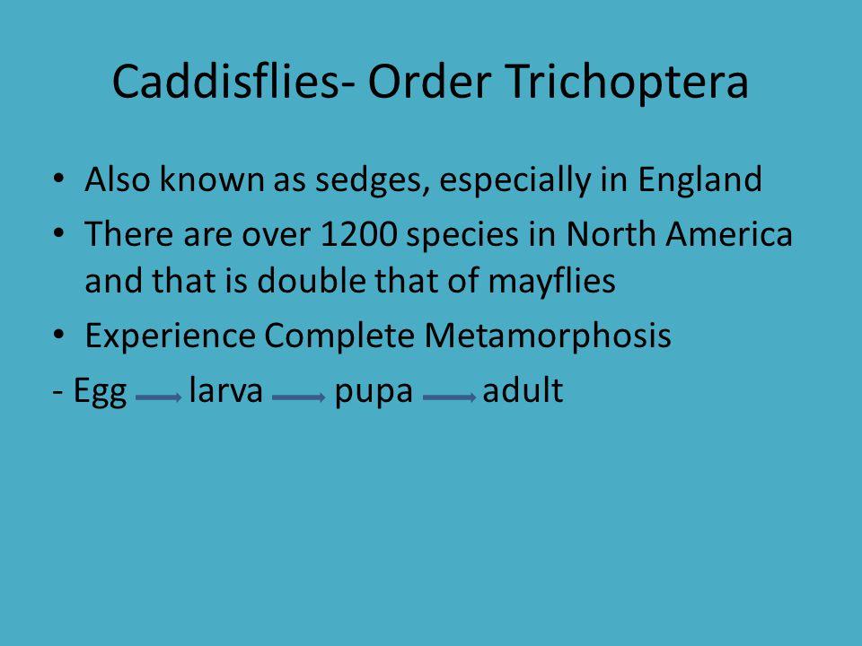 Caddisflies- Order Trichoptera