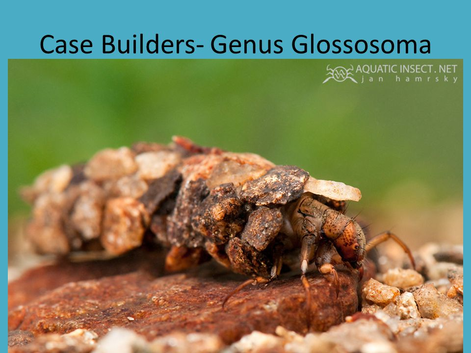 Case Builders- Genus Glossosoma