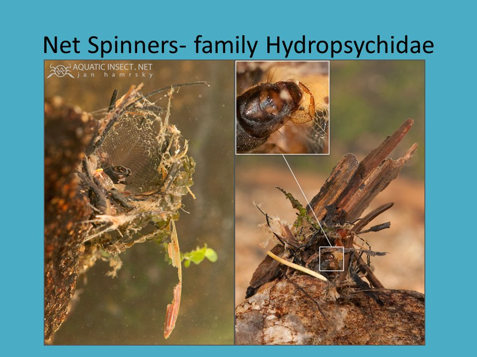 Net Spinners- family Hydropsychidae