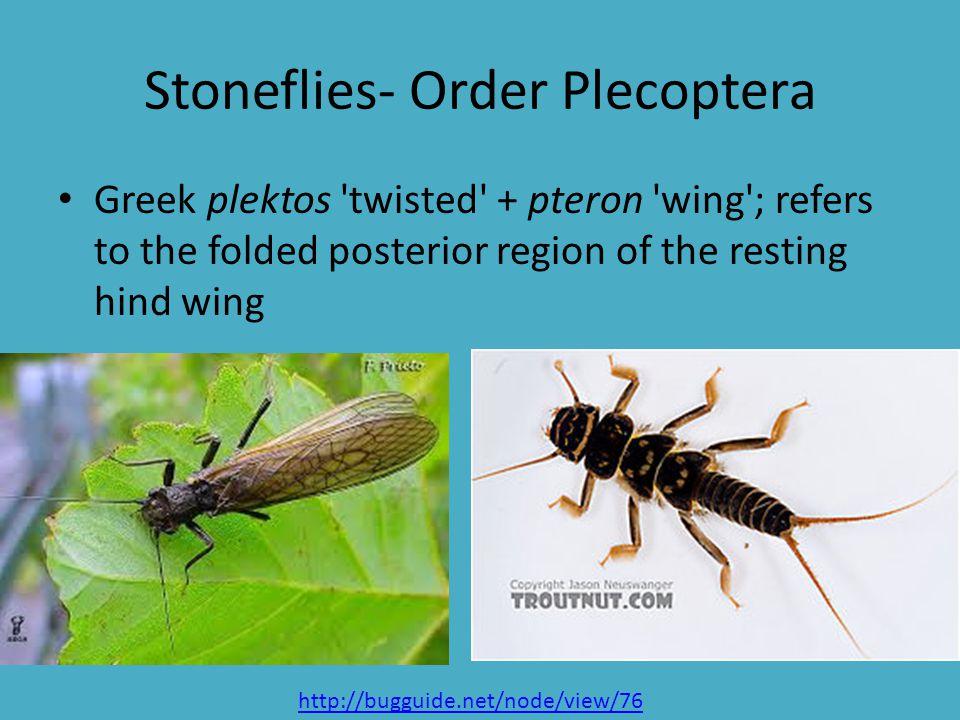 Stoneflies- Order Plecoptera
