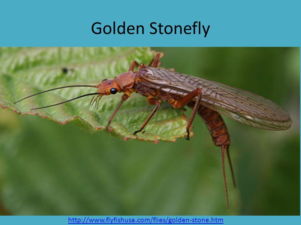 Golden Stonefly http://www.flyfishusa.com/flies/golden-stone.htm