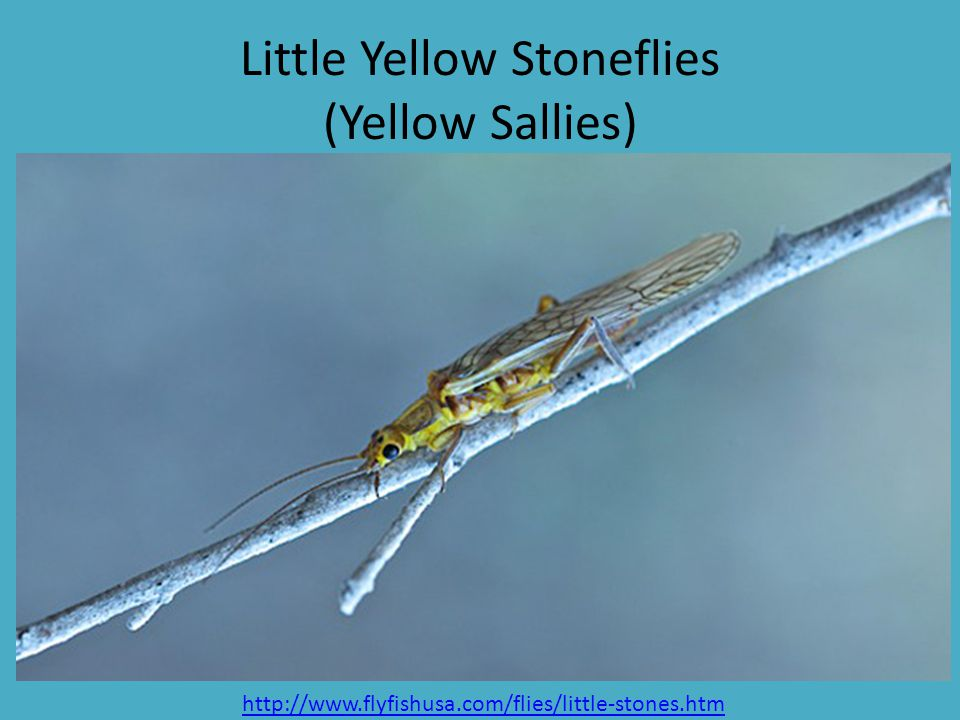 Little Yellow Stoneflies (Yellow Sallies)