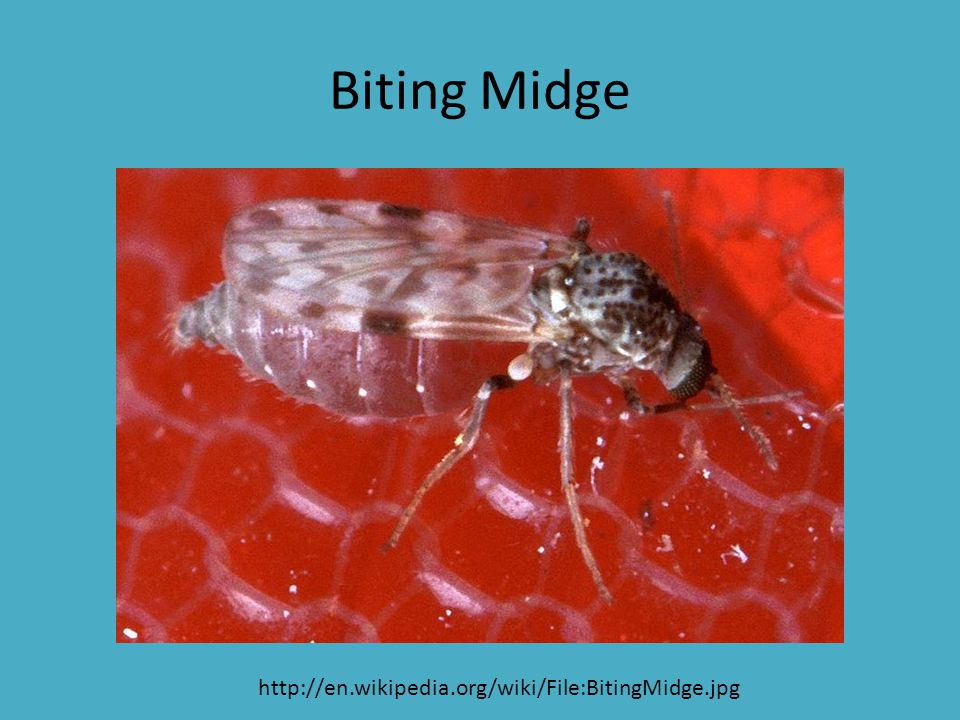 Biting Midge http://en.wikipedia.org/wiki/File:BitingMidge.jpg