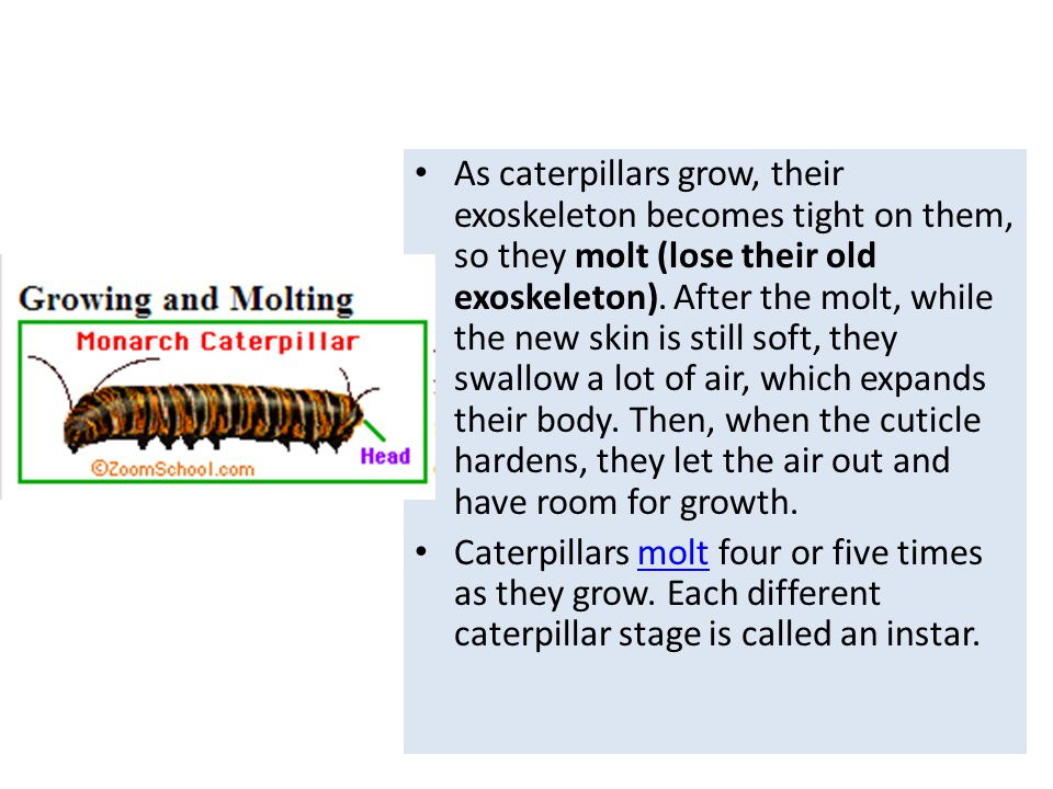 As caterpillars grow, their exoskeleton becomes tight on them, so they molt (lose their old exoskeleton). After the molt, while the new skin is still soft, they swallow a lot of air, which expands their body. Then, when the cuticle hardens, they let the air out and have room for growth.