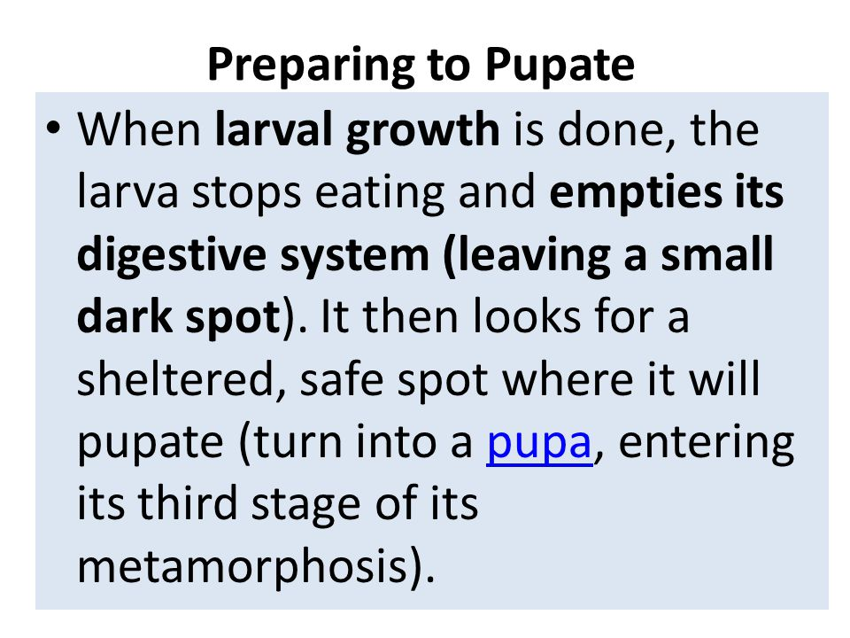 Preparing to Pupate