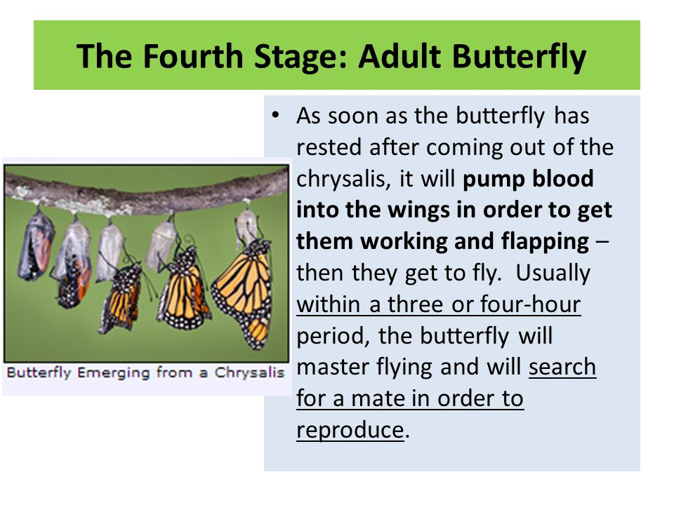 The Fourth Stage: Adult Butterfly