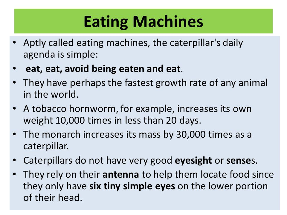 Eating Machines Aptly called eating machines, the caterpillar s daily agenda is simple: eat, eat, avoid being eaten and eat.