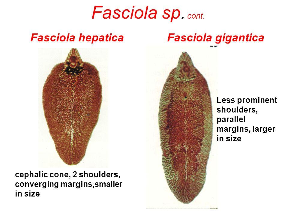 Fasciola hepatica Fasciola gigantica