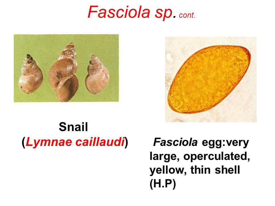 Snail (Lymnae caillaudi)