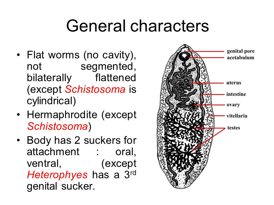 General characters Flat worms (no cavity), not segmented, bilaterally flattened (except Schistosoma is cylindrical)
