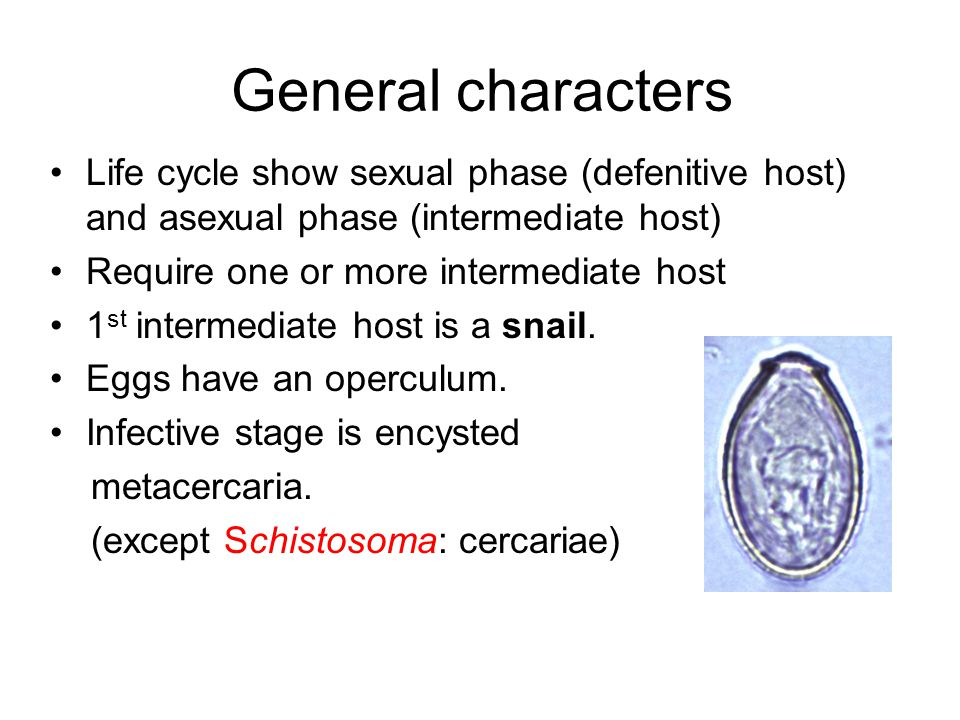 General characters Life cycle show sexual phase (defenitive host) and asexual phase (intermediate host)