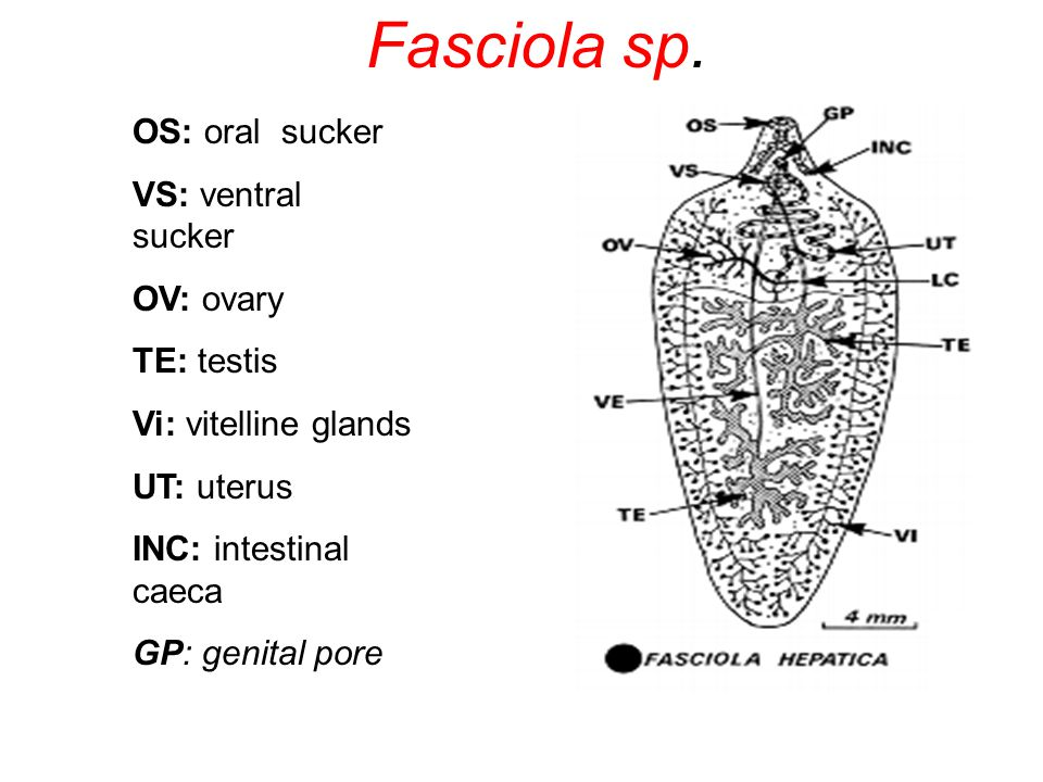 Fasciola sp. OS: oral sucker VS: ventral sucker OV: ovary TE: testis