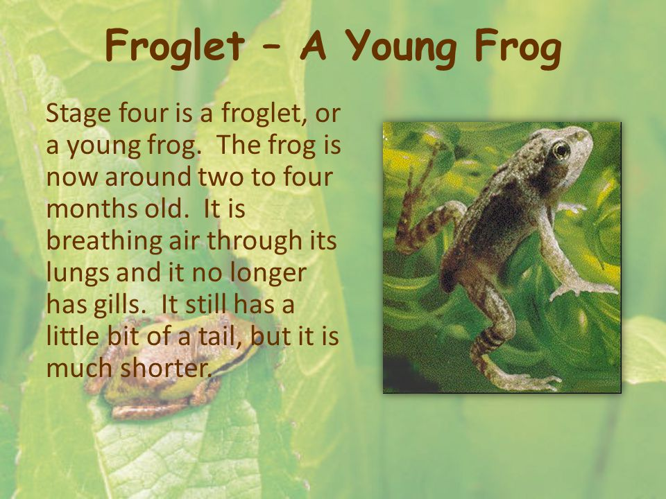 Froglet – A Young Frog