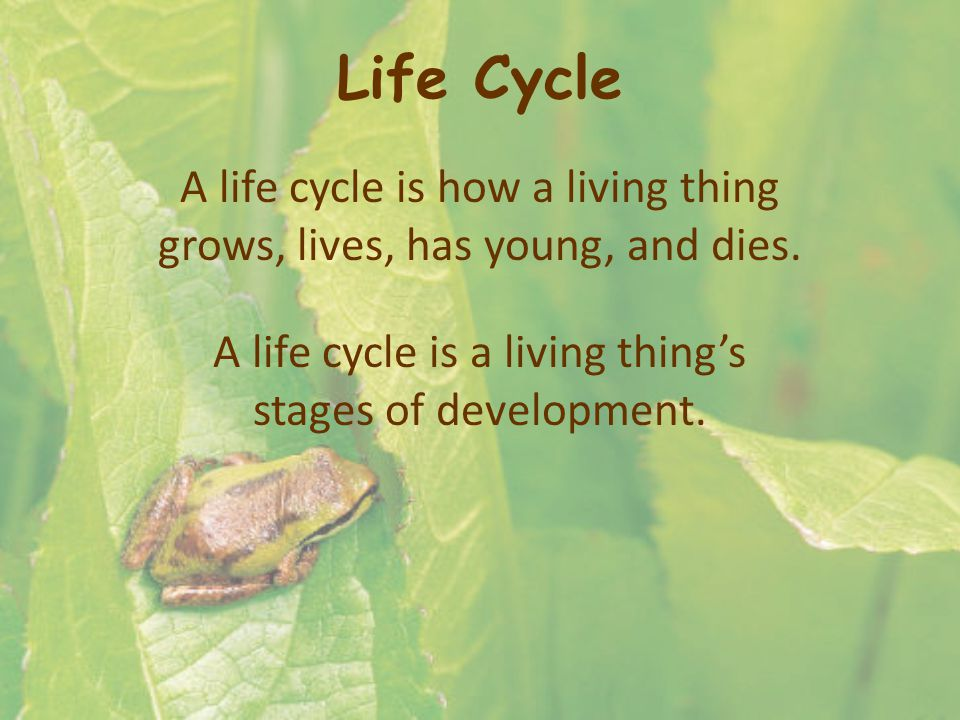Life Cycle A life cycle is how a living thing grows, lives, has young, and dies.