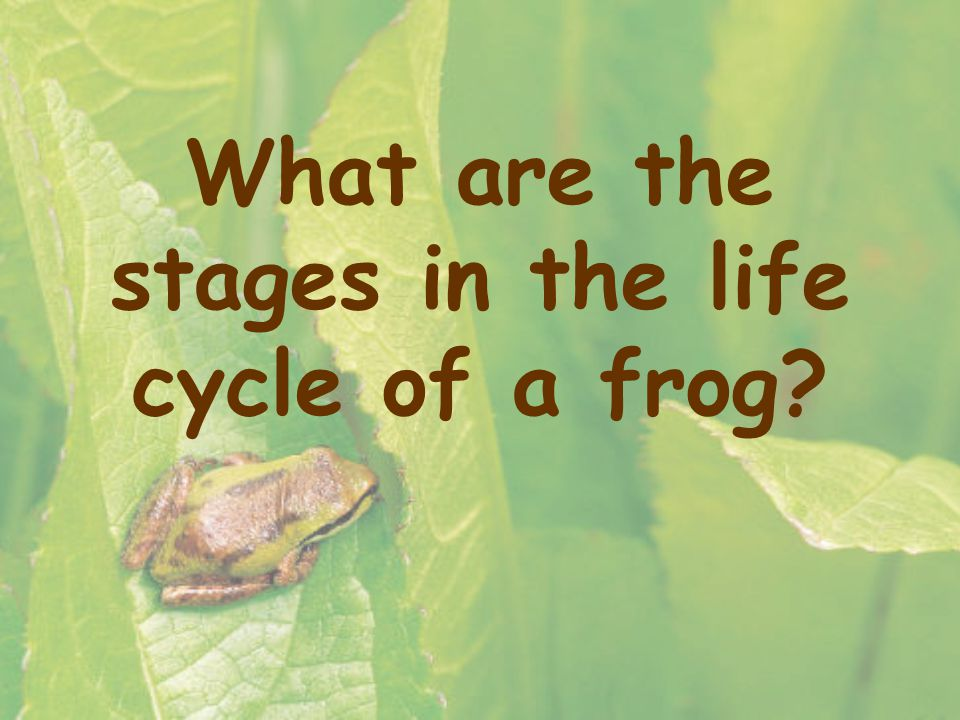 What are the stages in the life cycle of a frog