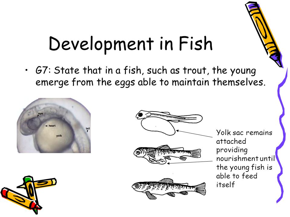 Development in Fish G7: State that in a fish, such as trout, the young emerge from the eggs able to maintain themselves.