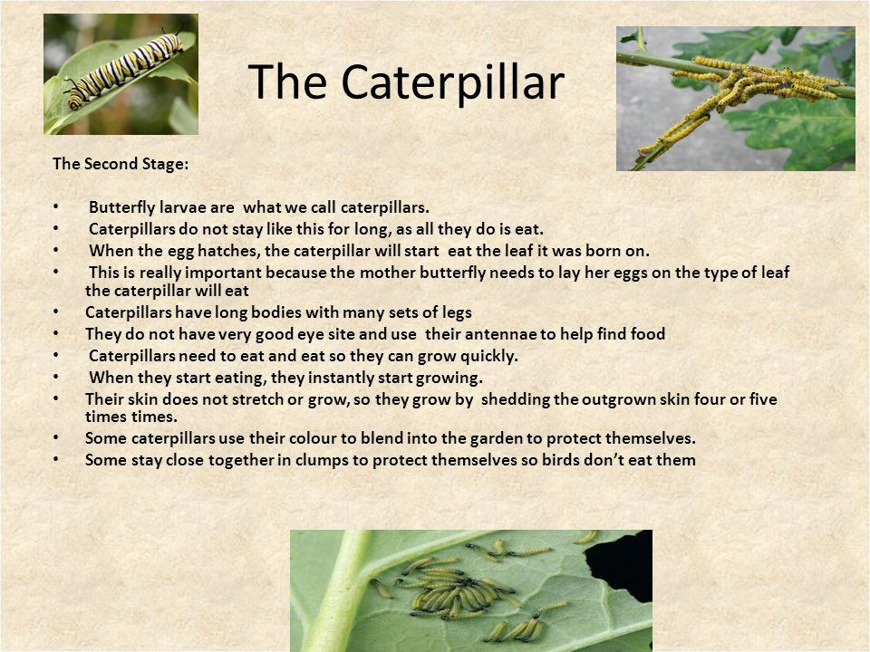 The Caterpillar The Second Stage: