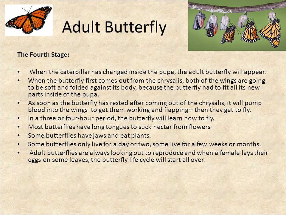 Adult Butterfly The Fourth Stage: