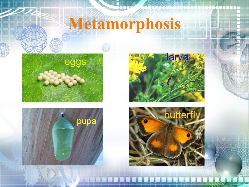 Metamorphosis larva eggs butterfly pupa