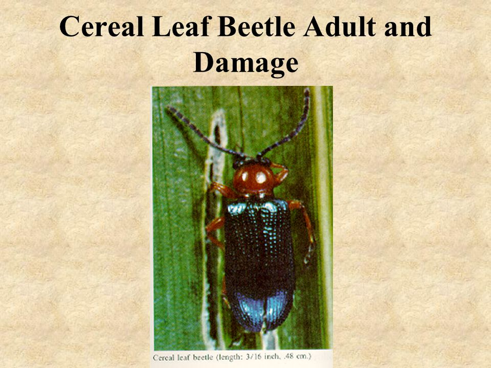 Cereal Leaf Beetle Adult and Damage