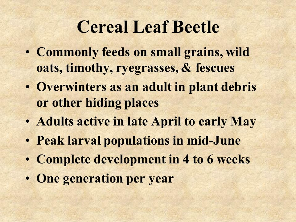 Cereal Leaf Beetle Commonly feeds on small grains, wild oats, timothy, ryegrasses, & fescues.