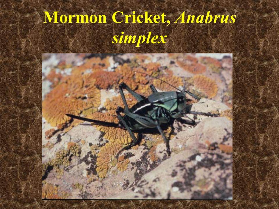 Mormon Cricket, Anabrus simplex