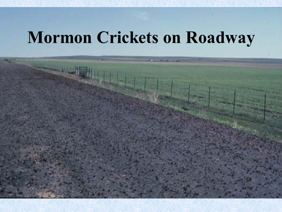 Mormon Crickets on Roadway