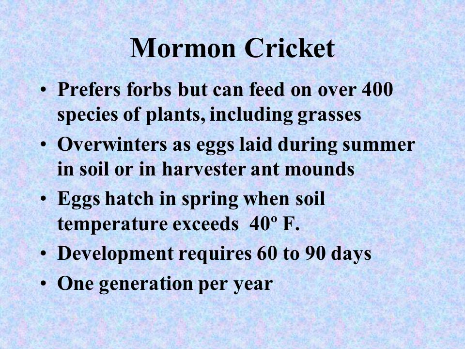 Mormon Cricket Prefers forbs but can feed on over 400 species of plants, including grasses.