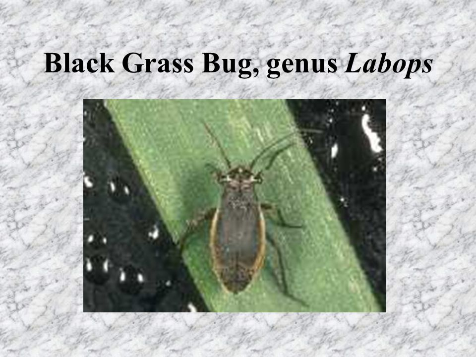 Black Grass Bug, genus Labops