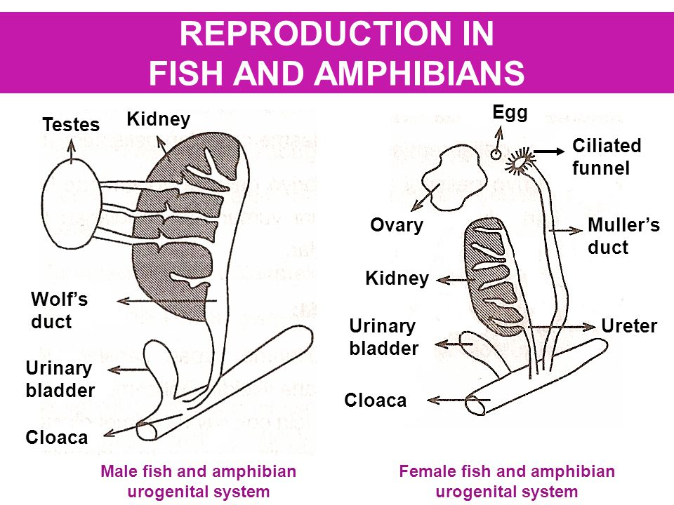 45 simple ways to amphibian reproductive system reptiles on the other hand reproduce using eggs protected to some extent against drying outis figure shows the anatomy of the male reproductive system ccuart Images