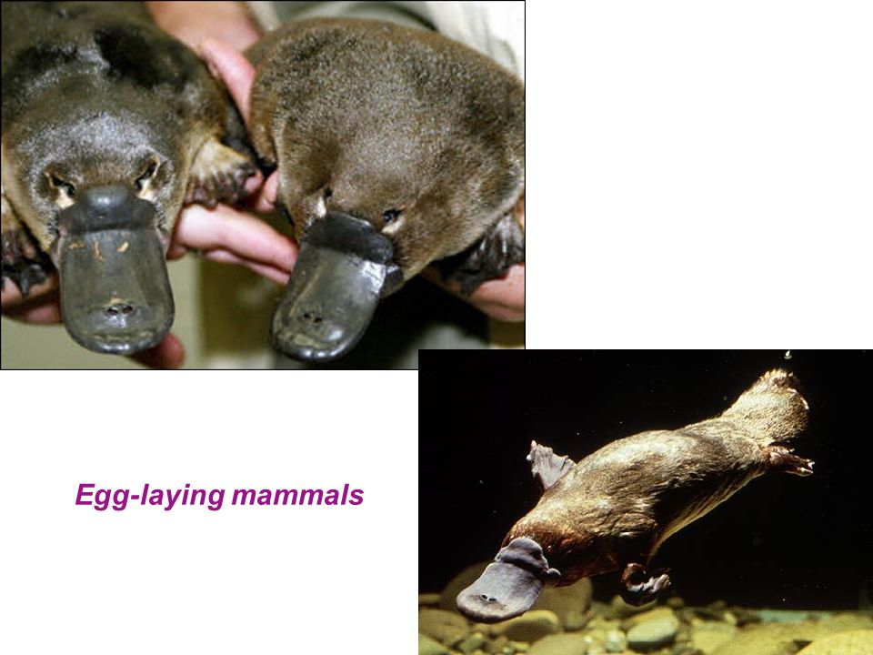 Egg-laying mammals
